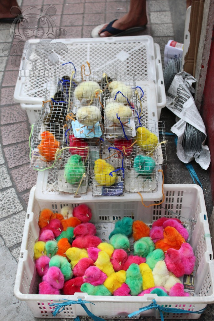 colorful chicks are being sold too.