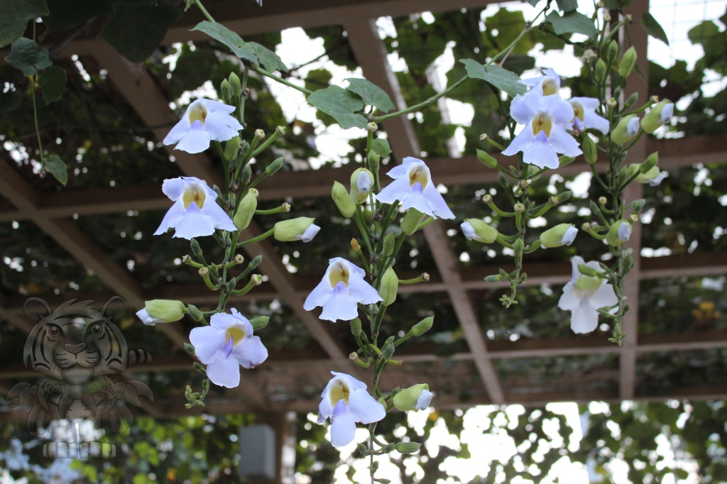 Thunburgia on High Street's trellises